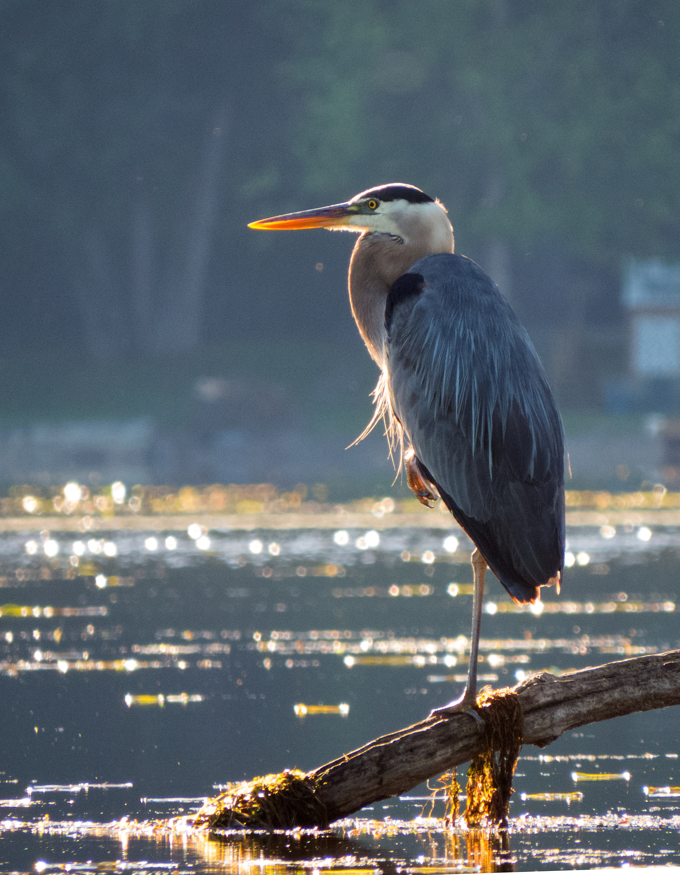 HM__Fred-Bertram-Great-Blue-Heron